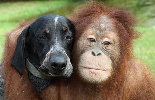 Orangbluetickheads