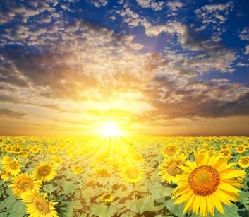 Sunflowersunrise
